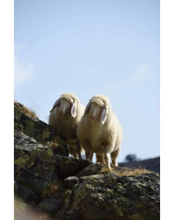 The wool of Tyrolean mountain sheep is the raw material for our Haunold fulled felt