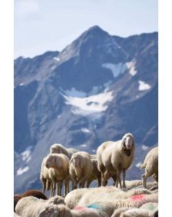 Le pecore alpine tirolesi ci forniscono la materia prima