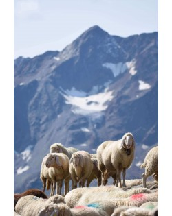 The wool from the Tyrolean mountain sheep is the raw material for our Haunold fulled felt