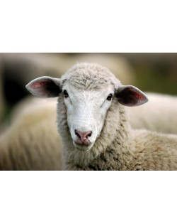 The wool of Tyrolean mountain sheep and fine merino wool are the raw materials for our Haunold fulled felt